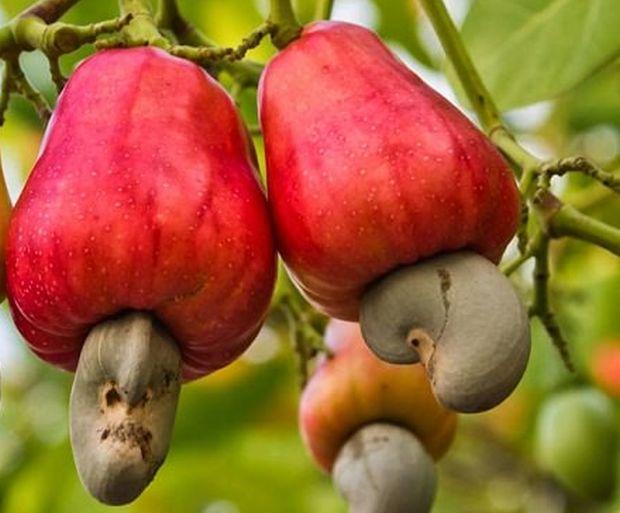 Côte d'Ivoire: les producteurs d'anacarde attirés par les prix des pays voisins