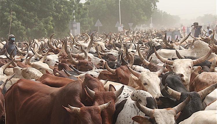 Magal Porokhane 2019 : Des bœufs en masse…
